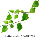 Isolated Image Of Birch Leaves...