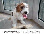 portrait jack russell terrier... | Shutterstock . vector #1061916791