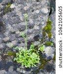 hairy bittercress plant growing ... | Shutterstock . vector #1062105605