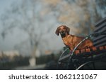 dachshund dog sits on bench | Shutterstock . vector #1062121067