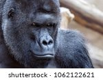 portrait of an angry gorilla   Shutterstock . vector #1062122621