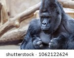 Portrait Of An Angry Gorilla