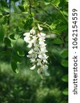 Small photo of Raceme of white flowers of Robinia pseudoacacia