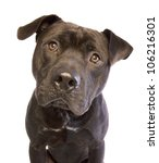 Stock photo black american staffordshire terrier head shot isolated on white background 106216301