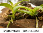 dendrobium anosmum young trees | Shutterstock . vector #1062168851