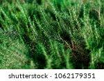 fresh rosemary shrubs in garden.... | Shutterstock . vector #1062179351