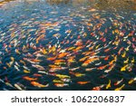 several fancy carp  mirror carp.... | Shutterstock . vector #1062206837