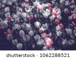 colorful tulip fields in the... | Shutterstock . vector #1062288521