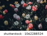 colorful tulip fields in the... | Shutterstock . vector #1062288524