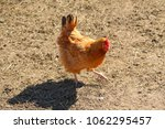 Colorful Fancy Rooster In...