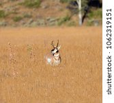 Small photo of Pronghorn buck watching his harem leave him