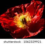 close up of blooming red poppy... | Shutterstock . vector #1062329921
