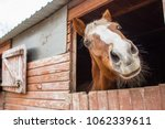 Stock photo surprised horse in the stall close up view of fun horse snout with copy space 1062339611