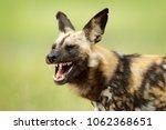african wild dog  open snout... | Shutterstock . vector #1062368651