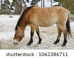 Mongolian wild ass  equus...