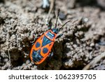 macro insect fire bug comes... | Shutterstock . vector #1062395705