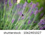insects buzzing on lavender in... | Shutterstock . vector #1062401027