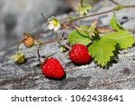 Wild Strawberry Giving Crop