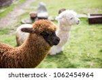cute little baby alpaca from... | Shutterstock . vector #1062454964