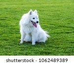 smiling purebred japanese spitz ... | Shutterstock . vector #1062489389