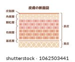 layer of human skin... | Shutterstock .eps vector #1062503441