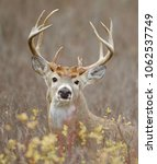 trophy whitetail buck in... | Shutterstock . vector #1062537749