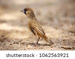 the sociable weaver ... | Shutterstock . vector #1062563921
