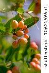 indian cherry or carunda ... | Shutterstock . vector #1062599651