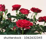 Stock photo red rose perennial shrub genus rosa flower bloom 1062632345