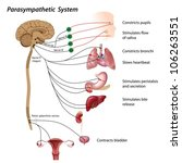 parasympathetic pathway of the... | Shutterstock .eps vector #106263551