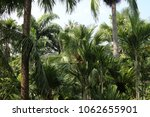 palm coconut trees. | Shutterstock . vector #1062655901