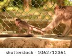 baby monkey trying to get away... | Shutterstock . vector #1062712361