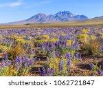 flowering atacama desert  chile   Shutterstock . vector #1062721847