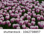 beautiful light pink tulips... | Shutterstock . vector #1062738857
