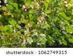 Small photo of actinidia in bloom