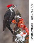 Pileated Woodpecker  Hylatomus...