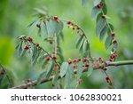 little flowers red on twigs | Shutterstock . vector #1062830021