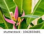 Musa Ornata Roxb.  Flowering...