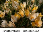blooming yellow flowers... | Shutterstock . vector #1062834665