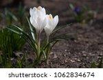 three blooming white flowers...   Shutterstock . vector #1062834674