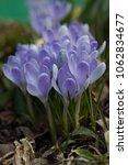 blooming blue flowers crocuses. ...   Shutterstock . vector #1062834677