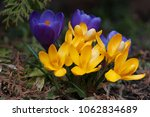 blooming purple and yellow... | Shutterstock . vector #1062834689