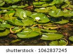 white water lilies in the... | Shutterstock . vector #1062837245