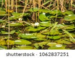 white water lilies in the... | Shutterstock . vector #1062837251