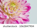 Dahlia Flower With White...