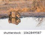 male cheetah at tau pan ... | Shutterstock . vector #1062849587