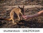Feeding Of A Small Rock Wallab...