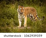 a beautiful amur tiger | Shutterstock . vector #1062939359