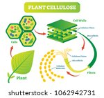 plant cellulose biology vector... | Shutterstock .eps vector #1062942731
