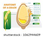 grain anatomical layers vector... | Shutterstock .eps vector #1062944609